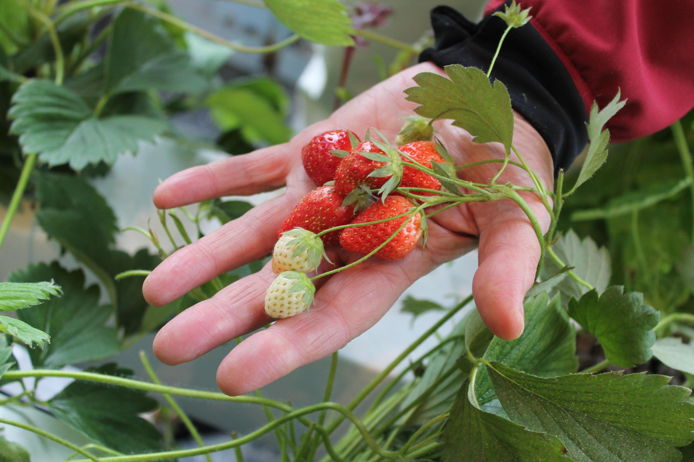 Ces fraises 100 % bio ont poussé au Parc de Belleville dans le XXe arrondissement de Paris.
