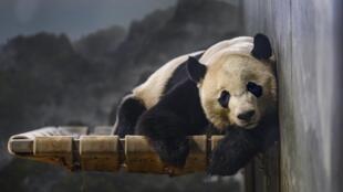 Le panda géant Bei Bei, au Smithsonian's National Zoo de Washington, le 14 novembre 2019.