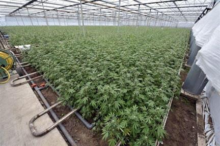Une plantation de cannabis illégale sous serre dans un village hollandais.