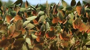 L'agriculture latino-américaine est très affectée par le phénomène climatique « La Niña ». (Photo: culture de soja).