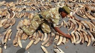 Saisie de défenses d'éléphants au Kenya. Le braconnage est en constante augmentation dans ce pays.
