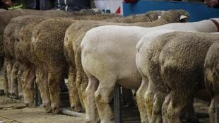 Sheep during a concours at the yearly agrishow in Paris, 23 February 2020