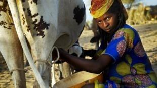 La région UEMOA plus la Mauritanie, le Tchad et le Nigéria, produisent plus de 6 millions de litres de lait par an.