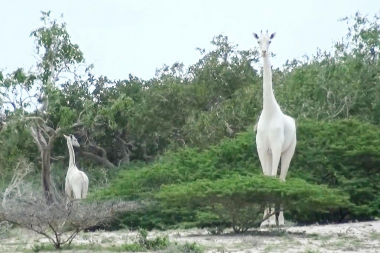 La dernière girafe blanche femelle et son girafon au Kenya, en mai 2017.