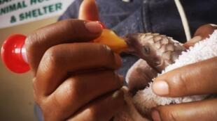 Au Saint Mark's Animal Hospital and Shelter à Lagos, un bébé pangolin est nourri par la docteure Calista Okolo.