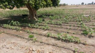 Le champ communautaire de l'école de Keur Mandongo.