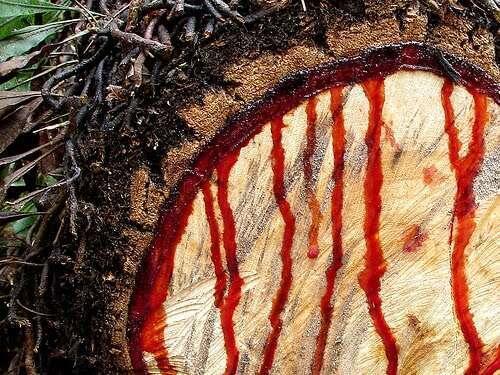 """Madeira de Pau de Sangue ou """"Pau di Sangui"""" é uma das mais procuradas na Guiné-Bissau e até 2020 alvo da moratória sobre o abate, agora levantada sob determinadas condições."""