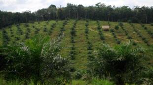 Une plantation d'huile de palme à Jambi en Indonésie.