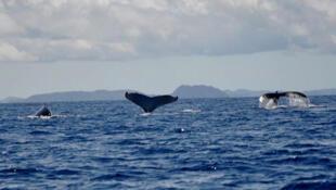 A partir du mois de novembre, les baleines entament la longue migration de Madagascar vers les zones poissonneuses de l'Antarctique.