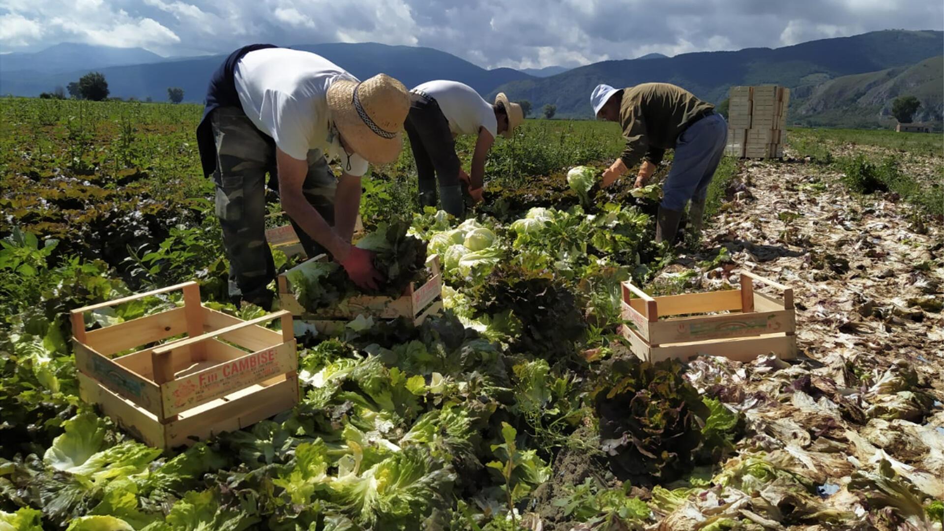 Saisonniers en Italie - Récolte de la salade dans l'entreprise de Fabrizio Lobene.