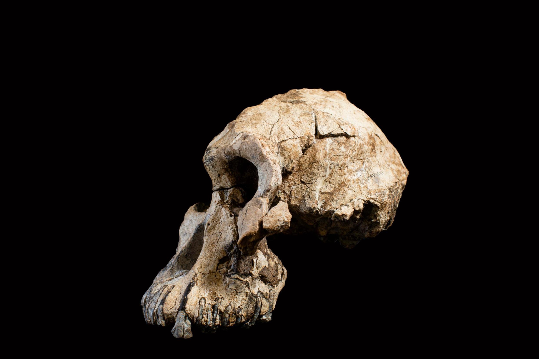 Le crâne fossilé d'un Australopithecus Anamensis, l'espèce la plus ancienne de ce genre, retrouvé en Éthiopie.