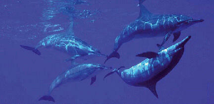 Dauphins à bec