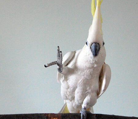 Snowball,  la cacatúa que baila y adapta sus movimientos al ritmo de la música del grupo  Backstreet Boys.