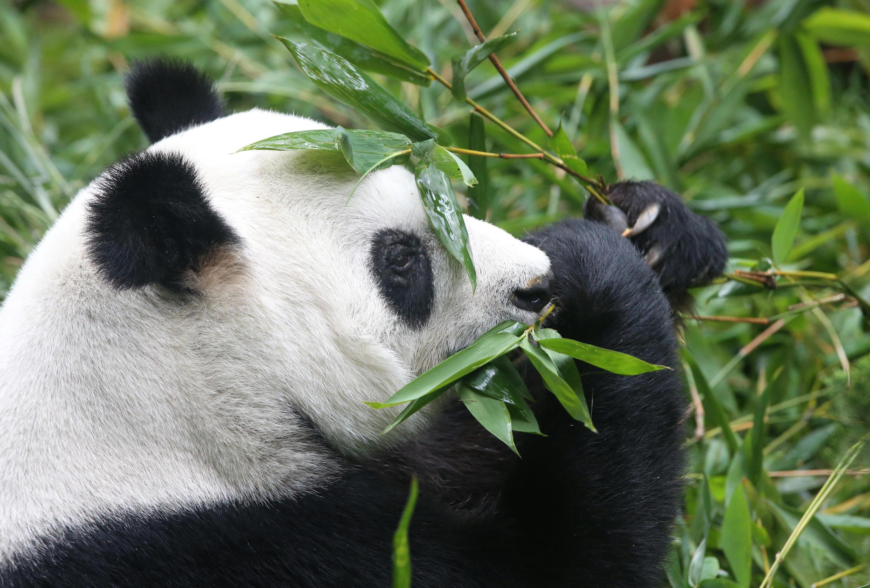 Un oso panda.