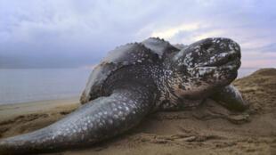 Le littoral congolais est une grande zone de ponte pour les tortues marines (image d'illustration).