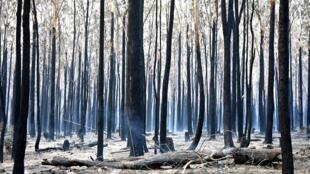 Photo des arbres brûlés par l'incendie à Old Bar,  ville côtière de la Nouvelle-Galles du Sud située à 350 km au nord de Sydney, le 10 novembre 2019.
