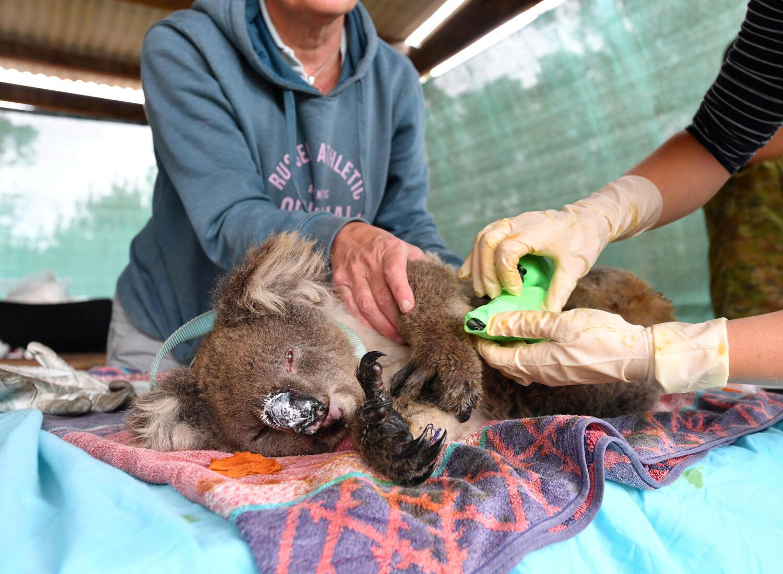 Des vétérinaires et des volontaires tentent de sauver les koalas brûlés à cause des incendies en Australie.