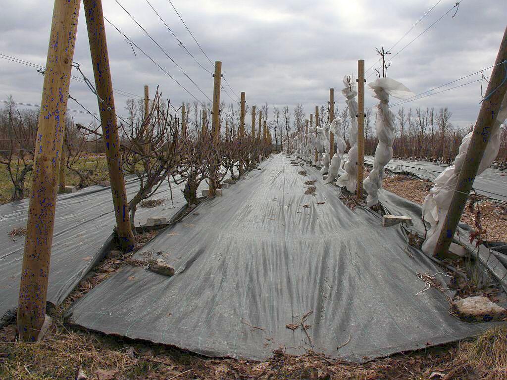 Les vignes estoniennes recouvertes pour l'hiver