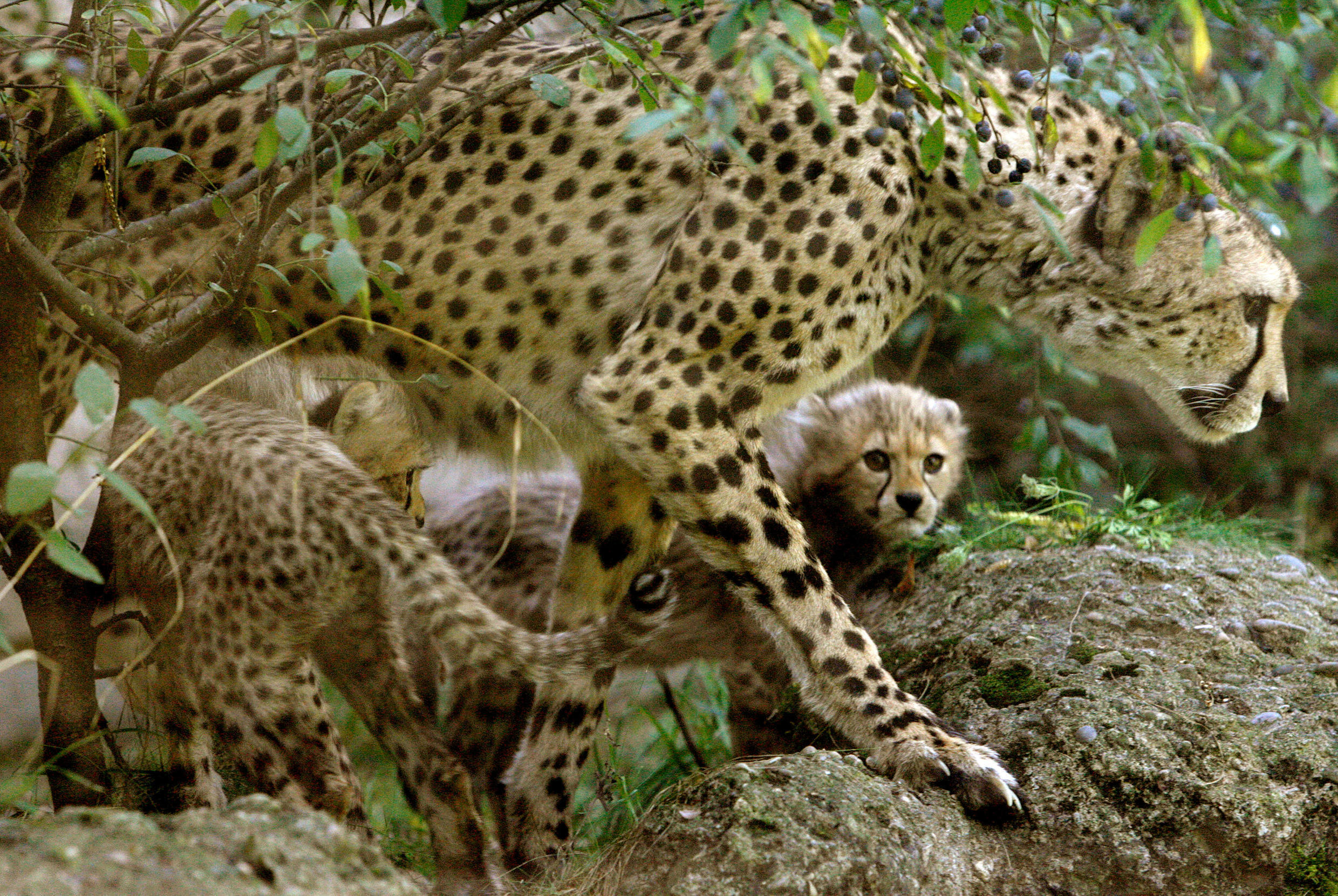 Two cheetah cubs and their mother at an enclosure at the zoo in Basel (illustration).