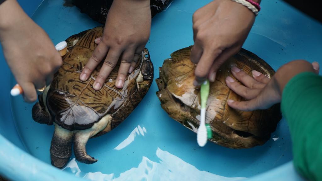 Les tortues qui vont être libérées sur la plage sont nettoyées à la Turtle Conservation Society.