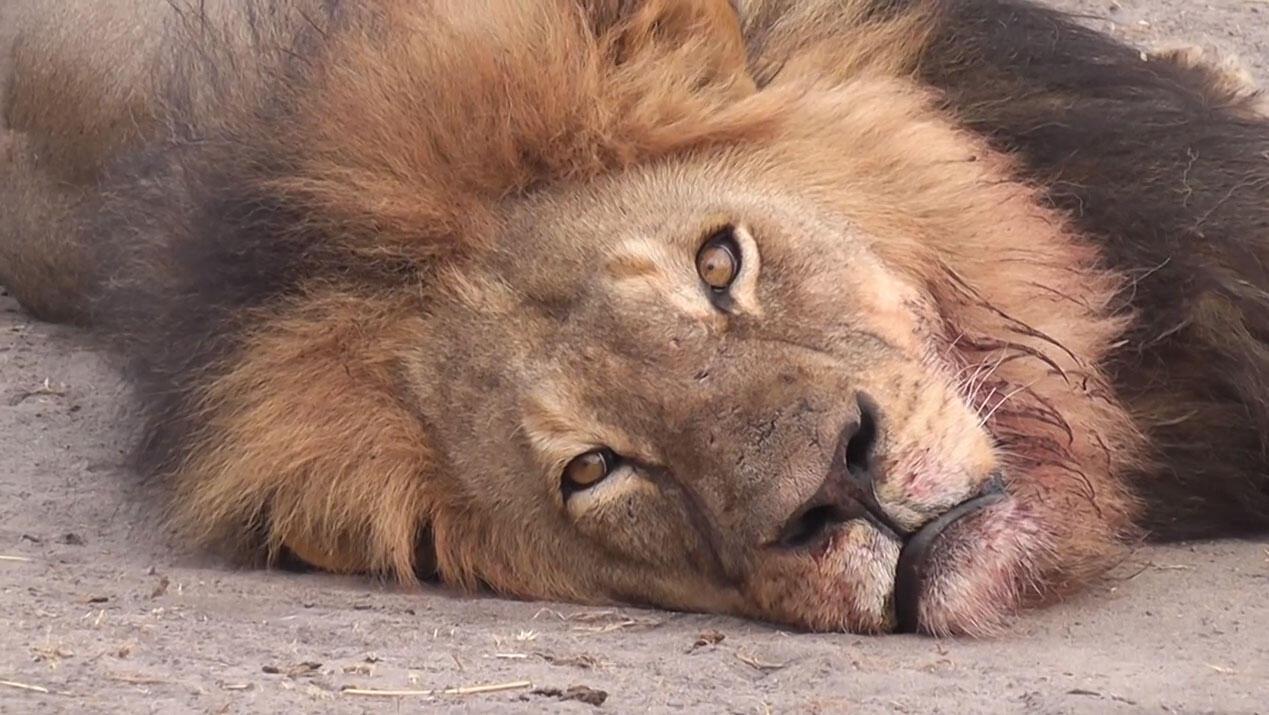 Cecil era um ícone do Zimbábue
