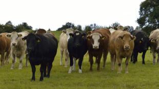 Troupeau de bovins en Irlande.