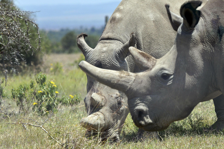 rhinocéros blanc kenya