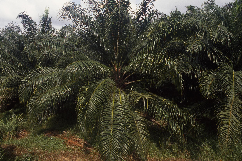 palmier-huile-malaisie