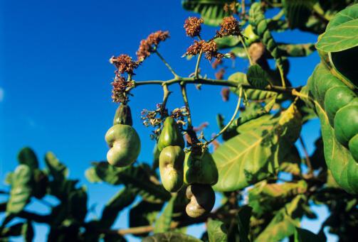Anacardier plus communément appelé arbre de cajou.