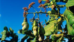 Anacardier, plus communément appelé arbre de cajou.