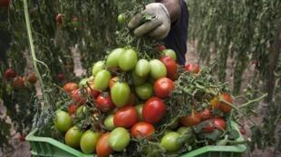 Giới sản xuất rau quả châu Âu thất thu hàng triệu euros (Reuters)