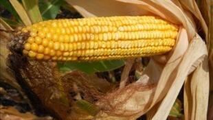 關於玉米報道圖片