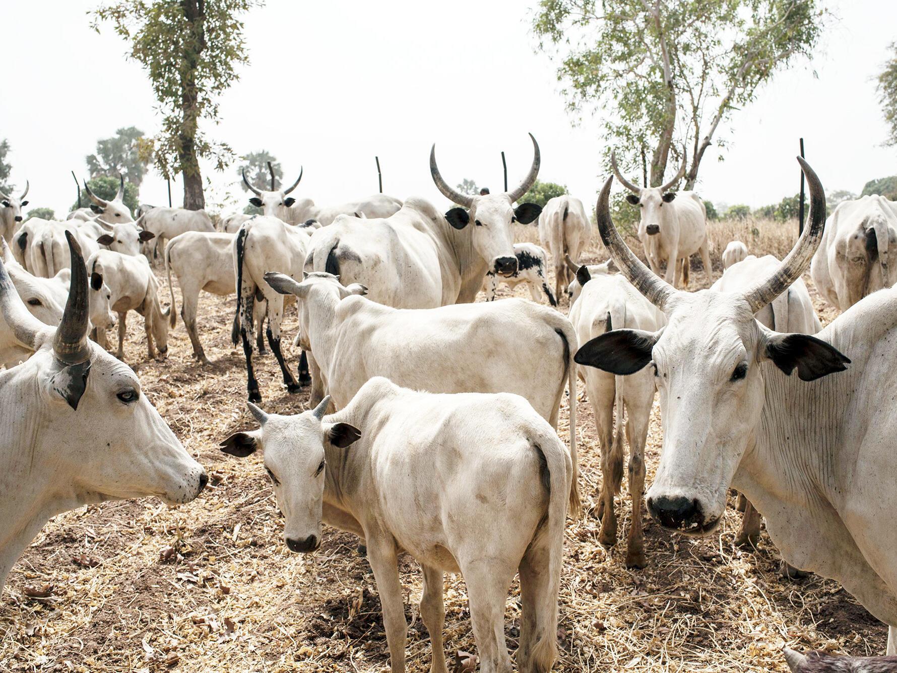 nigerian-cattle-0856c302bf4a35ab40ccb4bb03dd27bd7d55ccbc