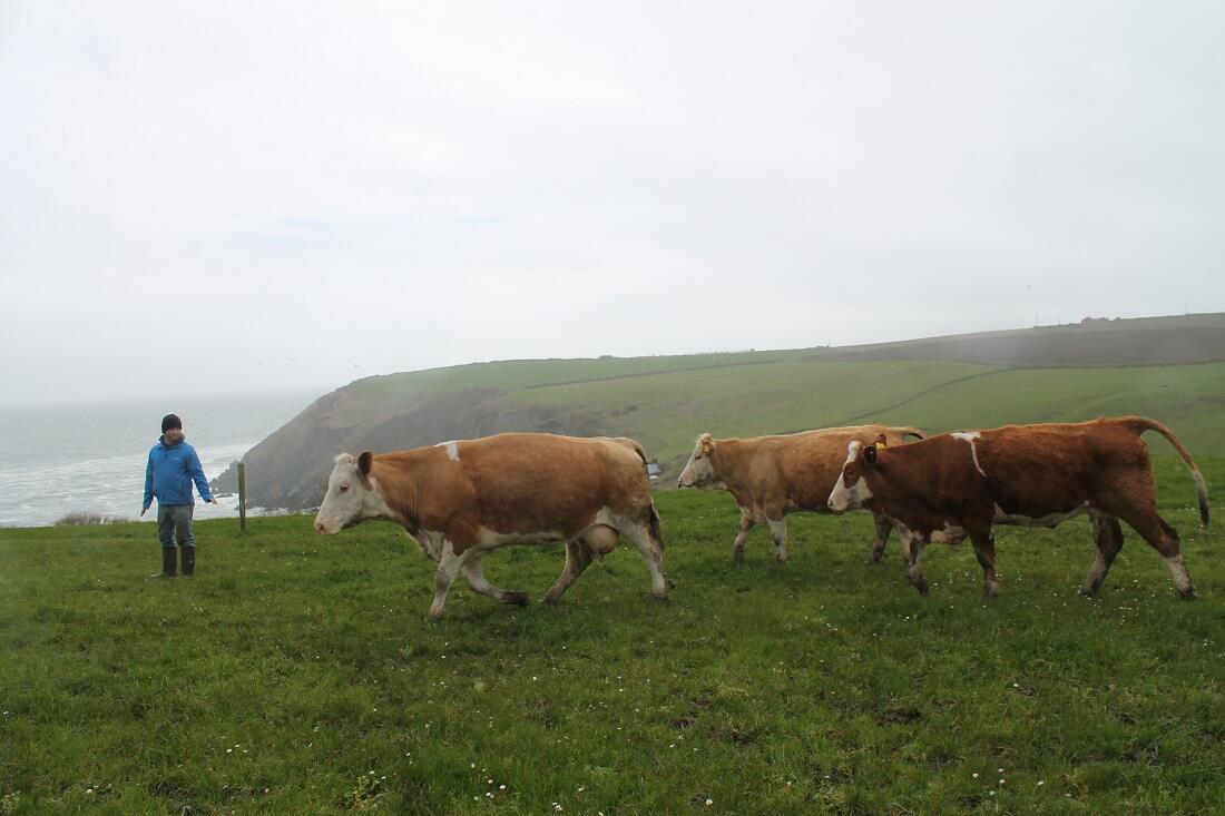 Des vaches en Irlande (image d'illustration).