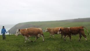 Plus de la moitié de la viande bovine irlandaise est exportée vers le Royaume-Uni (ici Tommy Moyles, à Arfield).