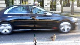 Des canards se baladent dans les rues de Paris, vides, lors du confinement.