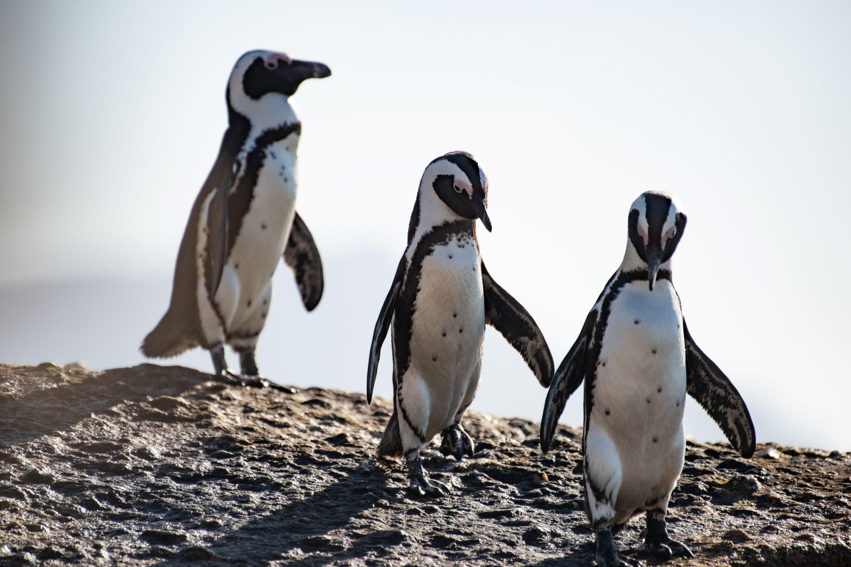 African penguins_Credit_Kelvin Trautman