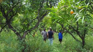 Le verger de mangues des Phileas à l'Etang salé dans le sud-ouest de la Réunion. Les larves se dénichent sur les terrains agricoles ou les friches.