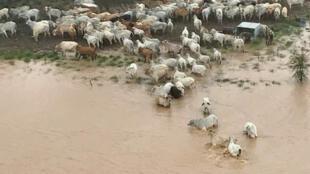 Des vaches entourées d'eau dans le Queensland, le 5 février 2019.