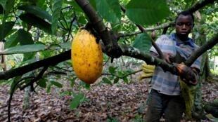 Un fermier récolte des cabosses de cacao dans une ferme à Bobia, Gagnoa, en Côte d'Ivoire, le 6 décembre 2019.
