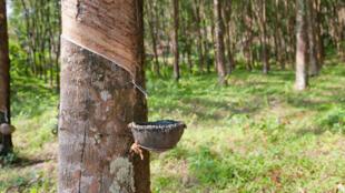 Collecte de latex de l'arbre à caoutchouc en Thaïlande.