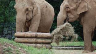 As elefantas Baby e Nepal vivem há mais de 10 anos no zoológico de Lyon, onde são uma das maiores atrações. .