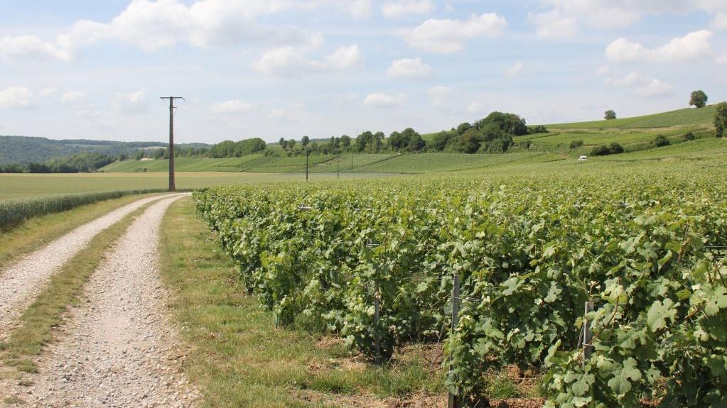 种植着酿造香槟酒的葡萄园。