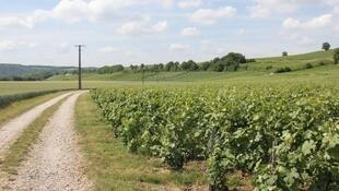 Vinyards in the Chapagne region in France