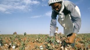 Récolte de coton dans un champ de Taftanaz, en Syrie.