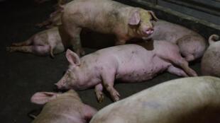 Una granja de cerdos en el condado chino de Yiyang, en una imagen del 10 de agosto de 2018