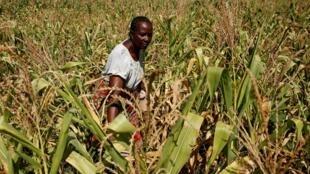 Mulher inspeciona plantação de milho atingida pela seca em Bindura, nos arredores de Harare (Zimbábue). (01/03/2019)