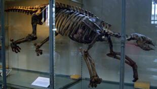 Thalassocnus, en el Museo de Historia Natural de París.