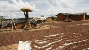 Des fèves de cacao séchées dans une exploitation agricole  au nord d'Abidjan.