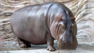 Hippopotamuses from Escobar's zoo have become a herd of about 40 animals.